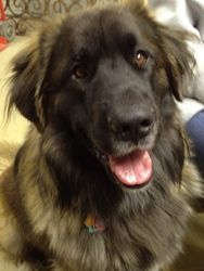 Uzi is an adoptable Leonberger Dog in Cody, WY. 'Uzi' is a really sweet purebred Leonberger with lots of personality. He is still a puppy, almost 2 years of age and has lost his home through no fault...