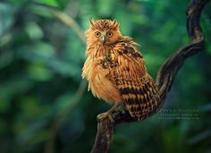 Photograph Buffy Fish Owl by Sasi - smit on 500px