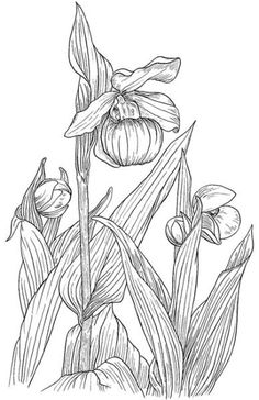 nature :: lady slipper orchids image by tharens - Photobucket Zentangle Patterns, Embroidery Patterns, Orchid Images, Lady Slipper Orchid, Flower Line Drawings, Secret Garden Colouring, Forest Plants, Drawing Practice, Colouring Pages