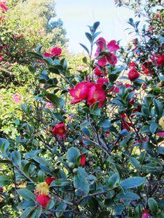 Camellia x vernalis 'Yuletide' Camellia Song - The Garden Times