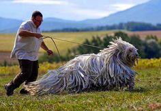 El Komondor es una raza de perro guardián y pastor, originario de Hungría. Su principal característica es el peculiar aspecto de su pelaje, que cae formando mechones parecidos a las rastas usadas por los rastafari.
