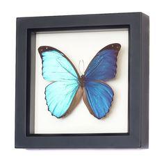 Real Framed Blue Morpho Butterfly 1030 by BugUnderGlass on Etsy, $39.99