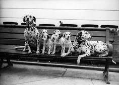 A loving Dalmatian family in 1931