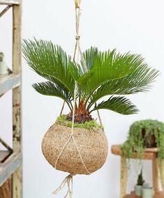 Unique kokedama Ball Ideas for Hanging Garden Plants selber machen ball Ikebana, Hanging Succulents, Hanging Plants, Moss Garden, Garden Plants, Deco Cactus, String Garden, Decoration Plante, Succulent Plants