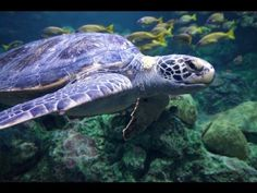 Relaxing 3 Hour Video of Giant Sea Turtles!