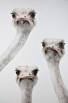 Curious ostriches.  What r u doing?