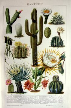 1904 antique CACTUS plants color lithograpnt, original vintage botany print, old cactus and cacti flowers engraving plate.