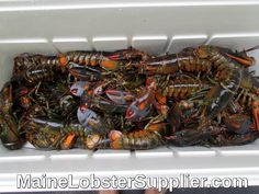 Maine Lobster Direct, MaineLobsterSupplier.com, overnight, Fresh Live Hard Shell Maine Lobsters, guaranteed overnight shipping  https://mainelobstersupplier.com/maine-lobster-direct/