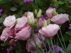 Lisianthus..The first thing lisianthus plants are known for are their beautiful bell-shaped flowers. Unfortunately, the second thing lisianthus plants are known for is being notoriously difficult to cultivate