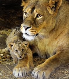 Lioness with son2 by brijome