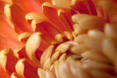 Orange Flower Detail Macro Photography by LydiaVideiraLight