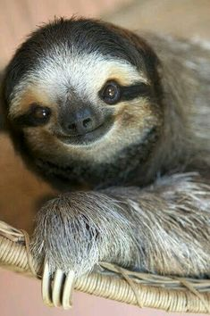 Look at that face ! - I got to hold one of these guys in the Peruvian Sweet animals! Look at that face ! - I got to hold one of these guys in the Peruvian Sweet animals! Smiling Sloth, Smiling Animals, Happy Animals, Cute Baby Animals, Animals And Pets, Funny Animals, Funny Cats, Wild Animals, Funny Sloth
