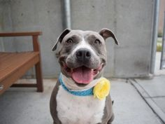 SASSY - A1117713 - - Brooklyn  TO BE DESTROYED 07/24/17  A volunteer writes: This sweet little porker was quietly napping when I came up to her cage, and when I called her name and offered her a treat she quietly and calmly walked up, tail wagging, and sat like a good patient girl right in front of me. No barking or crying at all! Sassy is very easy to walk on the leash, seems to be housebroken, and LOVES people. On our walk today she saw her favorite volunteer, and climbed