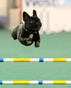 French Bulldog Agility...getting ready for the Olympics