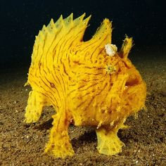 Frogfish can walk using its flipper on the ocean floor. #animals #ocean #nature