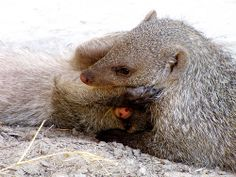 """Just Hug Me"" , Mongoose love, Namibia"