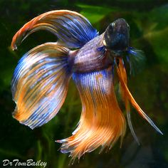 Siamese Fighting Fish - at AquariumFish.net where shopping online forBetta Fish is Fun.