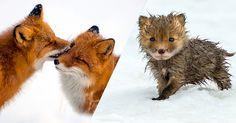 Dans le nord de la Russie, il n'y a pas grand chose à part de la neige à perte de vue. Cependant, Ivan, un ouvrier russe, y a trouvé de quoi embellir son quotidien : à chacune de ses pauses, il photographie les adorables renards arctiques, ses seuls voisins dans cet en...