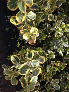 Petite pervenche panache                        Jardin arriere avant la magnifique floraison mauve.