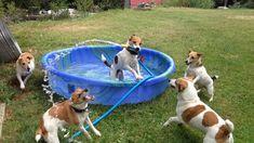 Jack Russell Terriers Play in Kiddie Pool - Partytime...  www.tierischer-urlaub.com #urlaubmithund