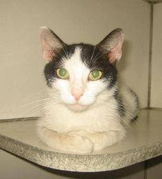 Truffle - 1 year, spayed female, domestic short hair mix, ID#072414G