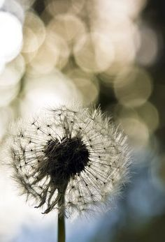 Dandelions, He sees flowers in these weeds.