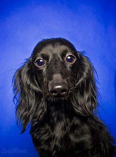 Black Beauty Dachshund