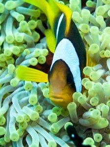 photo by Alin Miu #anemonefish #underwaterphotography #reef #clownfish #nemo #redsea