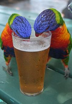 two parrots share a pint on Great Keppel Island, Australia.    Sarah Tucker from Weymouth, Dorset