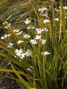 Libertia grandiflora - Front of House Garden. Big Tree.