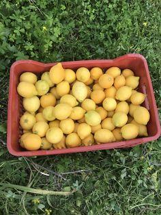 Λεμόνια παραγωγής μου!!! Plum, Eggs, Fruit, Breakfast, Food, Morning Coffee, Egg, The Fruit, Meals