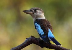 Blue-winged Kookaburra is a symbol of Australia's tropical north.  Photographed near Sesia, Cape York, Queensland Australia.  Photographed by Bruce J. Robinson.