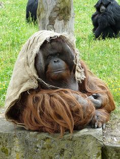 Orangutan wearing a summer bonnet