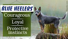 Characteristics of Australian cattle dog or blue heeler