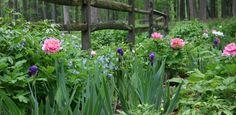 Peony Garden Planning - companion plants - siberian iris