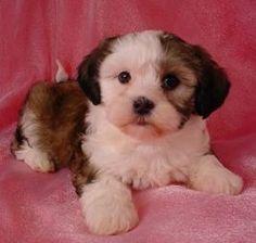 Bichon frise shih tzu mix puppy for sale in st louis missouri seth bich tzu fur affair - Imperial westies ...