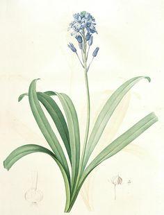 Scilla campanulata, Scille à fleurs en cloche, Bluebell, Redouté, Pierre Joseph, 1759-1840, les liliacees, 1802 - 1816