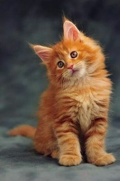 love beautiful ginger cats!!!  I do not know why.  No intention of stopping!
