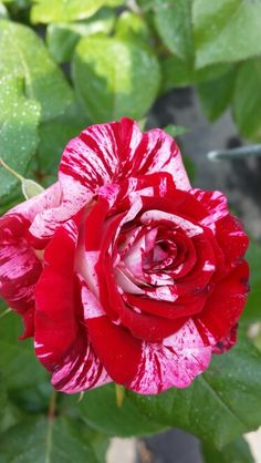 Amazing rose. 2015 Beautiful Rose Flowers, Pretty Roses, Peppermint Sticks, Special Flowers, Rose Wallpaper, Blue Roses, My Secret Garden, Botany, Amazing