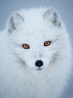 "beautiful-wildlife: "" Arctic Fox Portrait by Jakub Hodan "" Animals And Pets, Baby Animals, Cute Animals, Wildlife Photography, Animal Photography, Beautiful Creatures, Animals Beautiful, Fox Drawing, Fox Illustration"