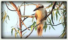 Kookaburra sits on an old gum tree at Loxton. SA.  In the Riverland.
