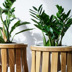 ZZ plants looking at home in our Tom Raffield  Merryn Floor Standing Planters