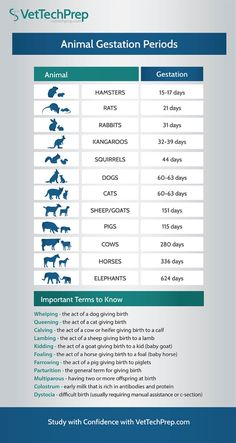 Here is an infographic for the different animal gestation periods. Veterinarian Assistant, Veterinarian Technician, Vet Assistant School, Veterinarian Quotes, Veterinarian School, Vet Jobs, Jobs For Vets, Vet Tech Student, Medicine Student
