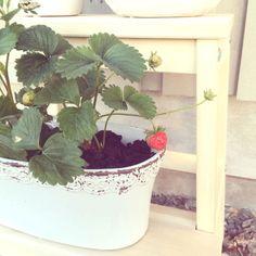 Strawberry plants on my balcony