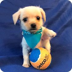 Burbank, CA - Poodle (Toy or Tea Cup)/Terrier (Unknown Type, Small) Mix. Meet Maddock, a puppy for adoption. http://www.adoptapet.com/pet/17424797-burbank-california-poodle-toy-or-tea-cup-mix