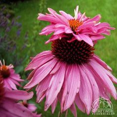 Echinacea purpurea 'Doubledecker', Full Sun to Part Shade, H, W, Summer to Fall. Did not flower the year it was planted (Extremely dry summer) Moved to sunnier bed - bloomed next year Full Sun Perennials, Full Sun Plants, Shade Perennials, Small Flowers, Pink Flowers, Plant Zones, Home Garden Plants, Shade Plants, Amazing Flowers