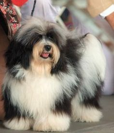 Havanese vs Coton de Tulear Being very similar in both appearance and temperament, Havanese and Coton de Tulear may be little difficult to distinguis Havanese Haircuts, Havanese Grooming, Havanese Puppies, Dogs And Puppies, Dog Grooming, Toy Dogs, Dogs 101, Teacup Puppies, Maltipoo
