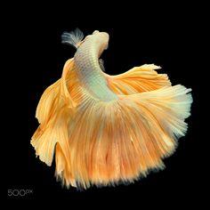 Golden Betta Turning Swim on the Black Background - Golden halfmoon betta…