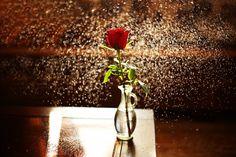 The fresh Rose by Gashbin Adnan - Photo 206800411 / 500px