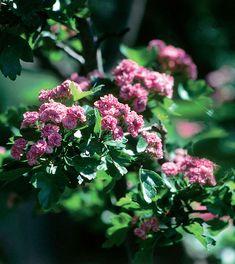 Ruusuorapihlaja, 3 askelta pienen puun hoitoon